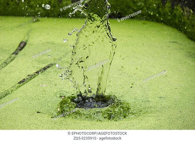 Water splash on a lake with green algae, Maharashtra, India