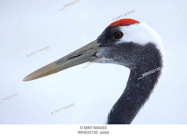 The head of red-crowned crane, Grus japonensi, Japanese crane. Grey and white plumage with patch of red bare skin on the crown. Bird life
