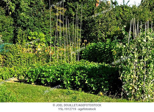 Vegetable garden in july : potatoes, runner beans 'Soissons', green beans,peas, Jerusalem artichokes in background  'Potager de Suzanne', Mayenne
