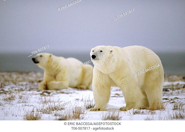 Two male polar bears on tundra (Ursus maritimus). Churchill, Manitoba, Canada