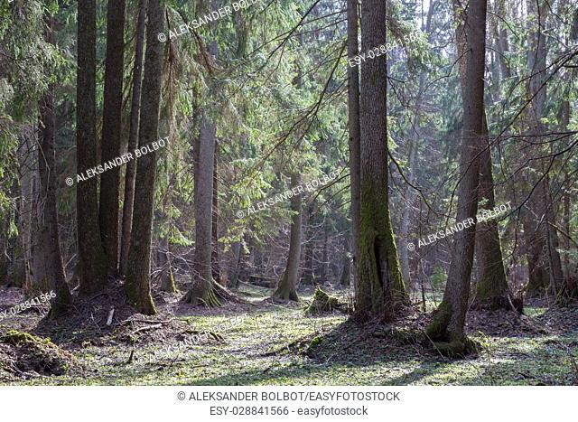Old alder trees in front of riparian stand in springtime with old alder and spruce trees,Bialowieza Forest,Poland,Europe