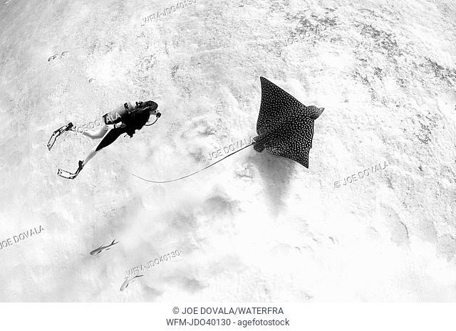Diver and Eagle Ray, Aetobatus narinari, Cozumel, Caribbean Sea, Mexico