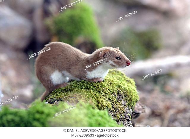 Mustela nivalis, european weasel in Iberian range mountains, La Rioja wine region, Spain, Europe