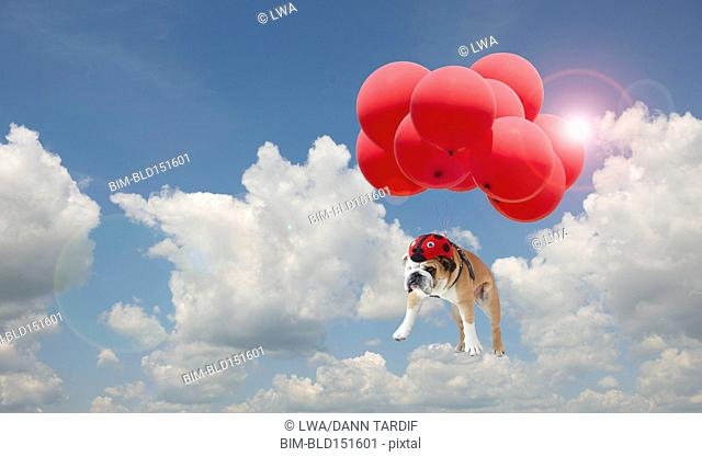 Dog floating with balloons in sky