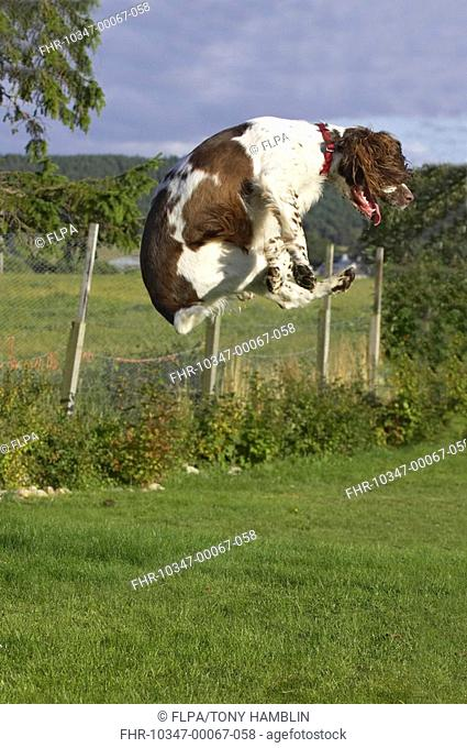 Domestic Dog, English Springer Spaniel, jumping on lawn, England
