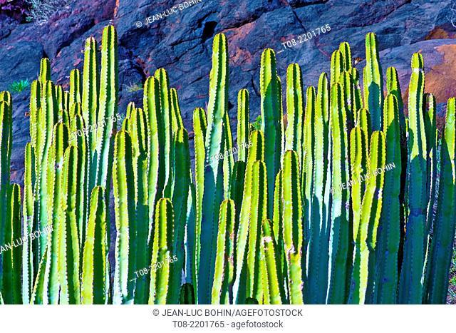 spain,canary islands, la palma : punta gorda port, euphorbia canariensis