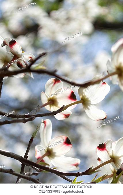 A delicate shot of white dogwood blossoms in the light