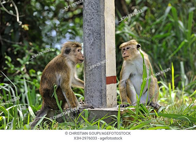 toque macaque (Macaca sinica) at the road side, Sri Lanka, Indian subcontinent, South Asia