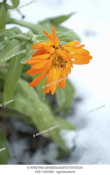 An orange Calendula in the Winter