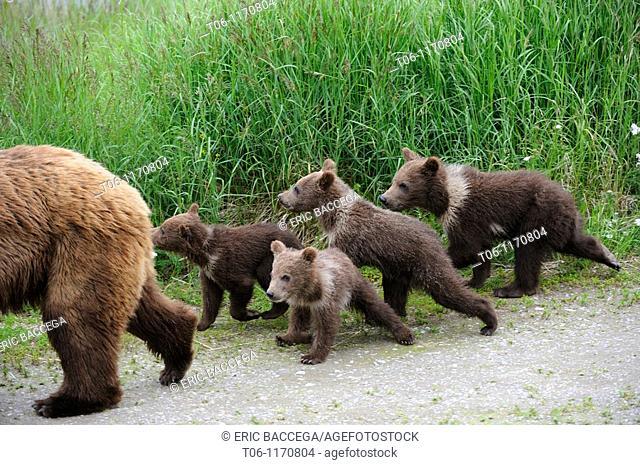 Grizzli bear mother and four spring cubs Ursus arctos horribilis Brooks river, Katmai National Park, Alaska, USA