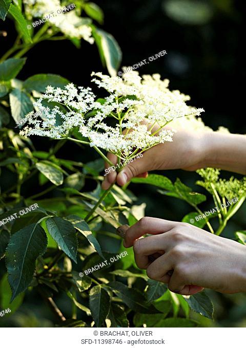A person cutting elderflowers