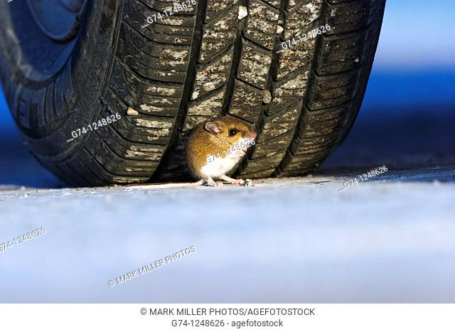 Mouse Seeking Refuge in Wrong place- Under the tire wheel Yellowstone National Park, USA