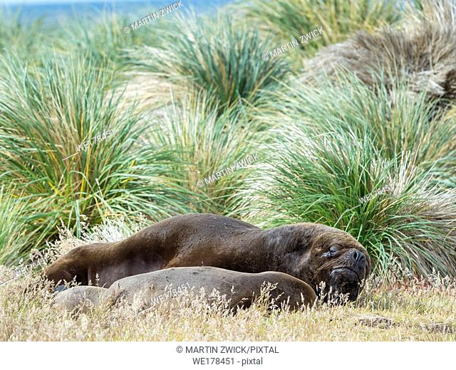Bull and female in tussock belt. South American sea lion (Otaria flavescens, formerly Otaria byronia), also called the Southern Sea Lion or Patagonian sea lion