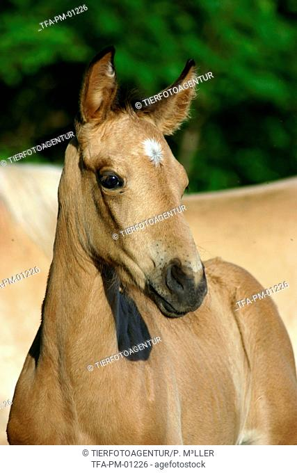 Paso Fino foal