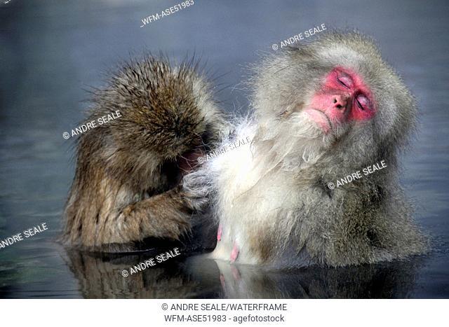 Japanese Macaques bathing in hot springs of Jigokudani Monkey Park, Macaca fuscata, Joshin-etsu Kogen National Park, Nagano, Honshu, Japan