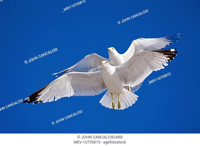 Ring-billed Gulls - 2 adults soaring - Most commonly seen gull - especially inland (Larus delawarensis)
