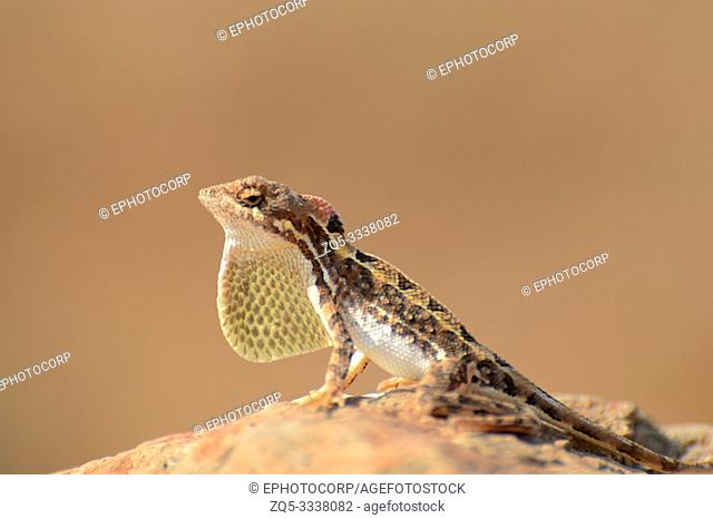 Fan throated lizard, Sitana sp, Satara, Maharashtra, India