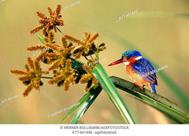 Malachite Kingfisher (Alcedo cristata). Masai Mara Game Reserve. Kenya