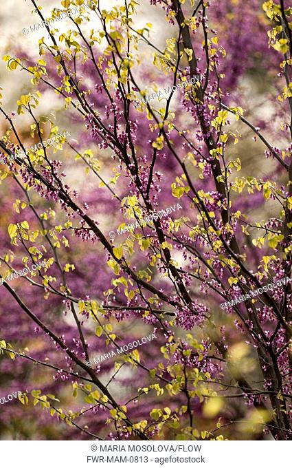 Cercis canadensis, Forest pansy, Purple subject