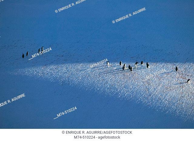 Chintrasp penguins (Pygoscelis antarctica) on Iceberg Antarctica