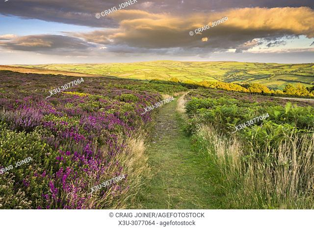 Heather on Holdstone Down in late summer in Exmoor National Park, North Devon, England
