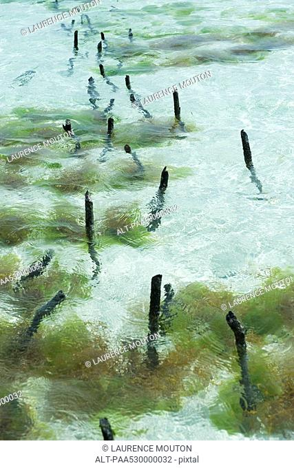 Seaweed farm, wooden stakes sticking out of shallow water