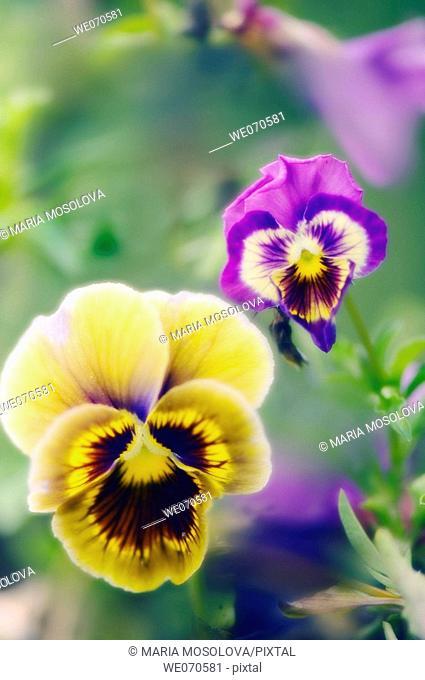 Two Pansy Flowers. Viola x wittrockiana. August 2006. Maryland, USA