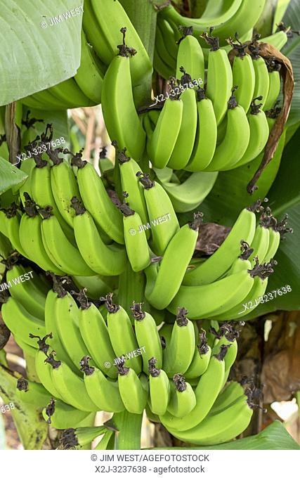 Naalehu, Hawaii - Bananas growing in the gardens at the Punalu'u Bake Shop on Hawaii's Big Island