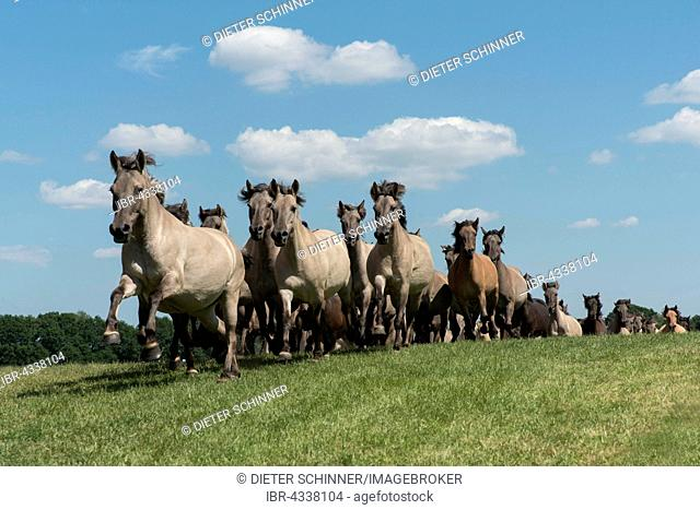 Dülmener wild horses when entering the arena, Herd, Merfelder Bruch, Dülmen, Münsterland, North Rhine-Westphalia, Germany
