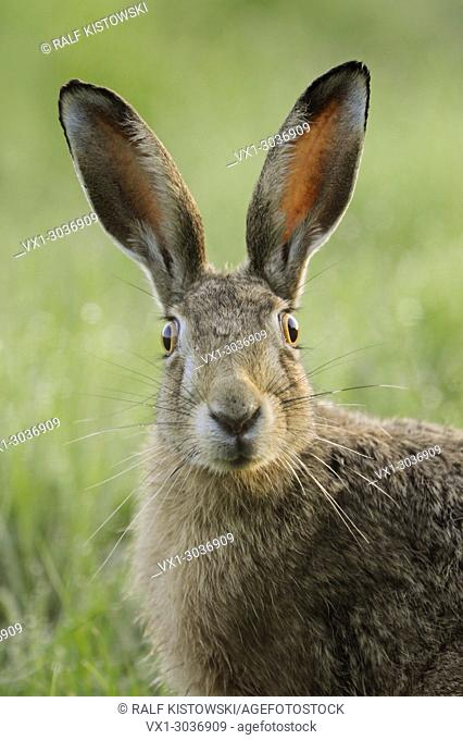 Brown Hare / European Hare ( Lepus europaeus ) watching surprised, funny close up, detailed frontal view, wildlife, Europe