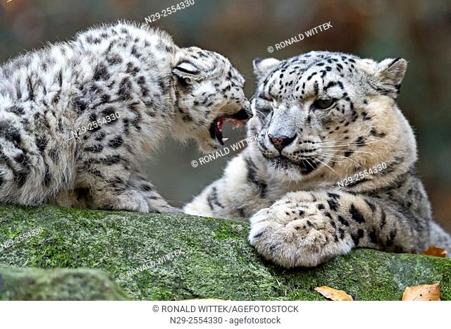 Snow Leopard, (Uncia uncia), young animals, captive, Germany