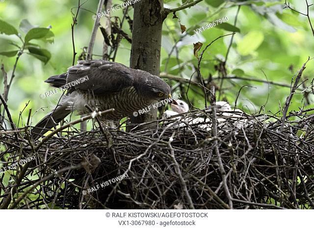 Sparrowhawk ( Accipiter nisus ), caring female feeding its freshly hatched chicks, wildlife, Europe