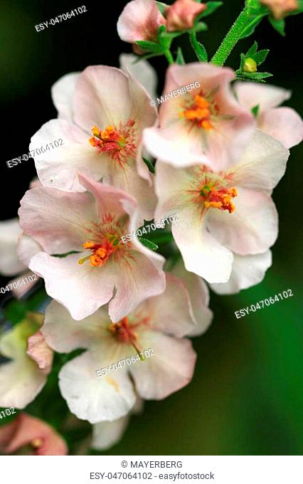 Purple mullein (Verbascum phoeniceum) perennial species is one of the earliest mulleins to bloom