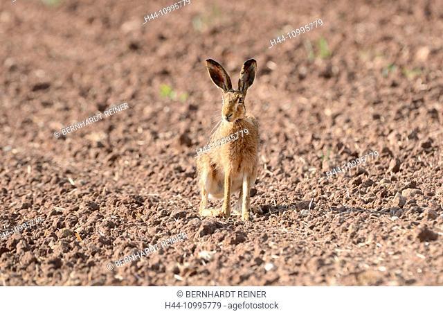 Hare, field hare