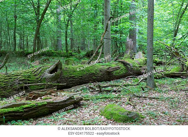 Fresh deciduous stand of Bialowieza Forest in springtime with dead broken ash tree in foreground,Bialowieza Forest,Poland,Europe