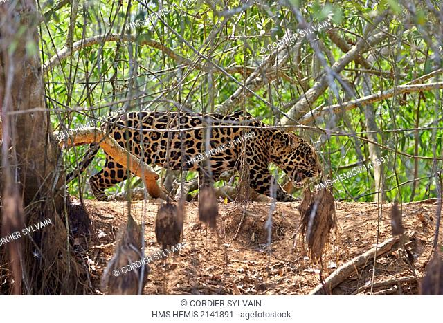 Brazil, Mato Grosso, Pantanal region, jaguar (Panthera onca), on the edge of a river