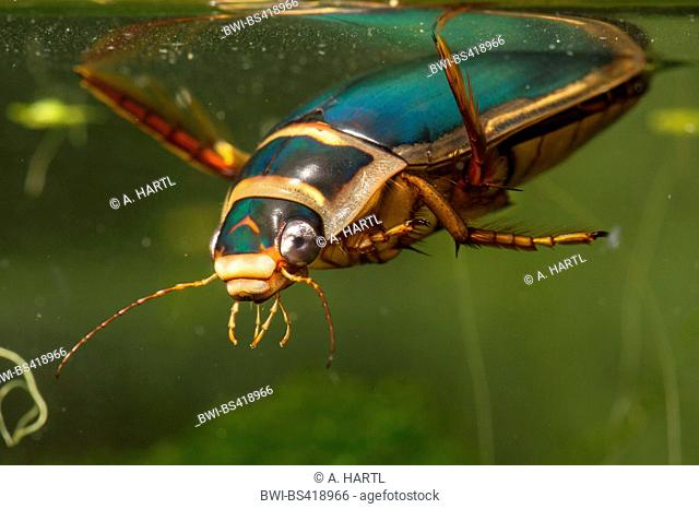 Great diving beetle (Dytiscus marginalis), male takes a breath at water surface