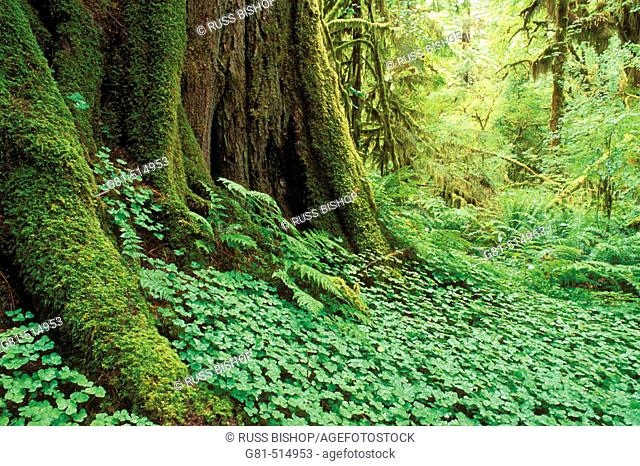 Sword ferns, sorrel, and moss-covered old growth in the Queets Rain Forest, Olympic National Park, Washington