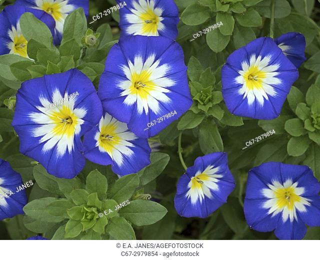 Annual Convolvulus Convolvus tricolour Norfolk UK