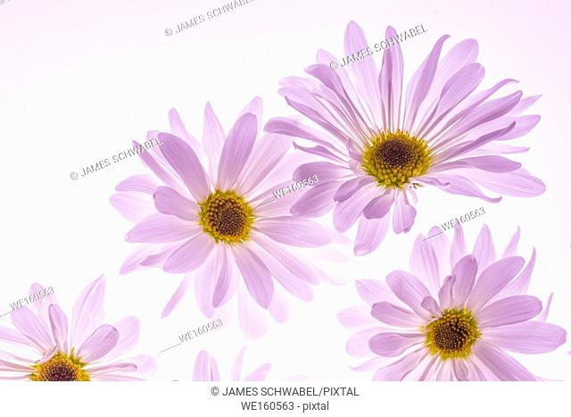 Colorful flowers backlit with a white background