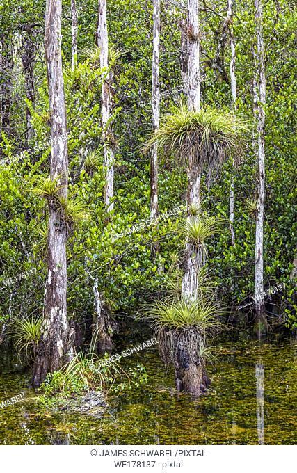 Cypress trees in swamp in Sweetwater Slough on Loop Road inLoop Road, Loop Rd. Big Cypress National Preserve in Florida