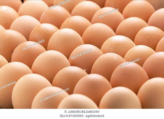 Domestic Chicken. Eggs in an egg crate. Germany