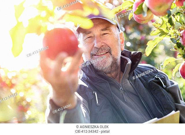 Smiling male farmer harvesting apples in sunny orchard