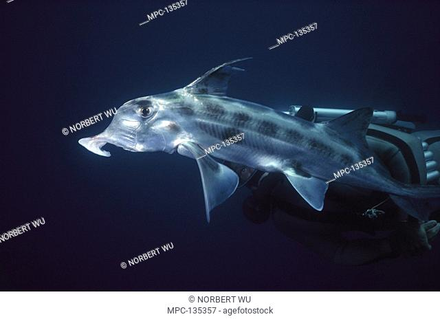 Elephant Fish Callorhynchus milii, trunk-like snout detects prey in sea bottom, primitive fish relative to sharks, lives in the deep sea, New Zealand