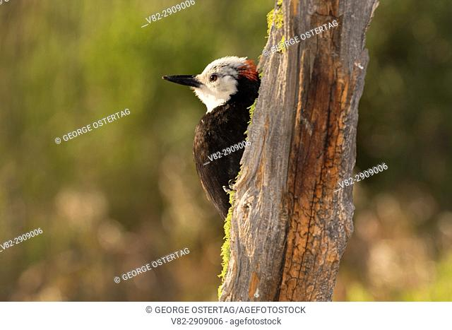 White-headed woodpecker (Picoides albolarvatus) at Cabin Lake bird blind, Deschutes National Forest, Oregon