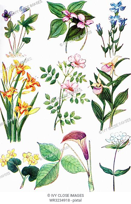 The illustration shown here dates to 1922. Pictured here are North American Wildflowers: from left to right, top to botton: 1. Violet, 2
