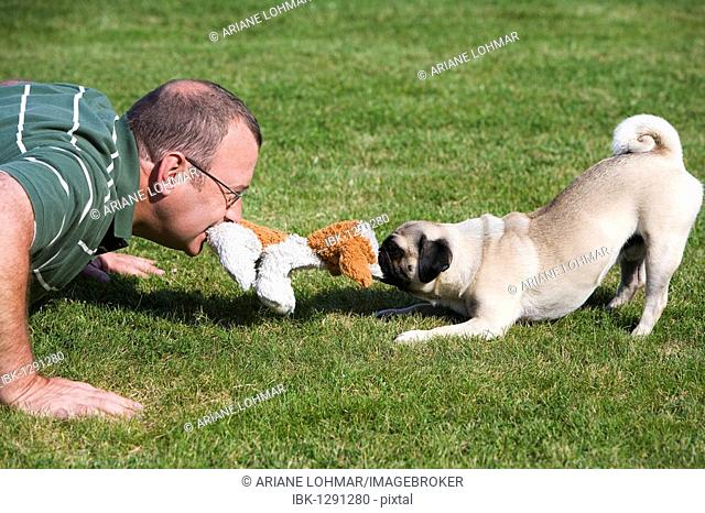 A young male pug and his owner playing happily in a meadow with a plush toy