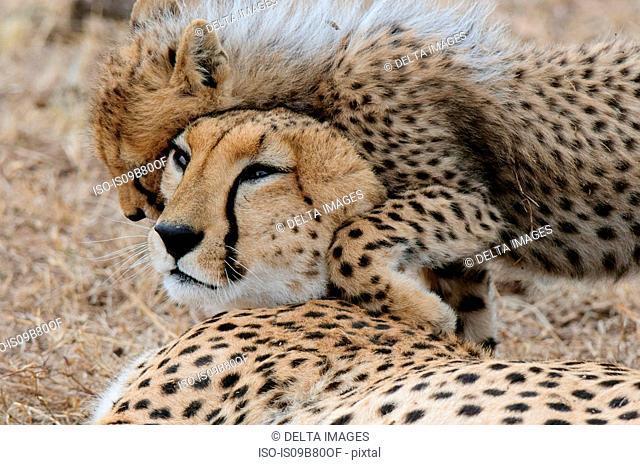 Cheetah (Acinonyx jubatus) and cub, Masai Mara, Kenya