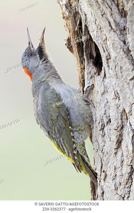 Levaillant's Woodpecker (Picus vaillantii), adult female singing at the antrance of an old nest