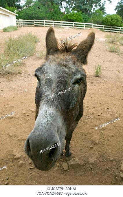 Humorous portrait of a donkey posing for the camera